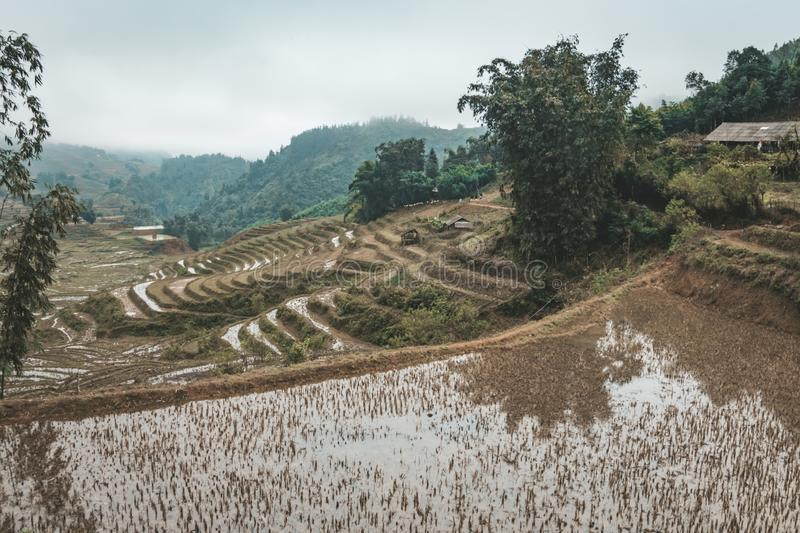 Rooster in the rice fields in rural royalty free stock images