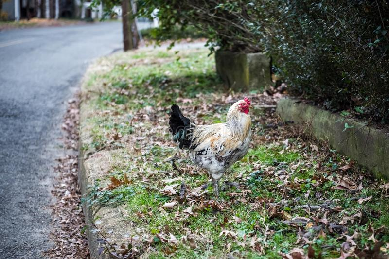 Rooster by the Road royalty free stock photo