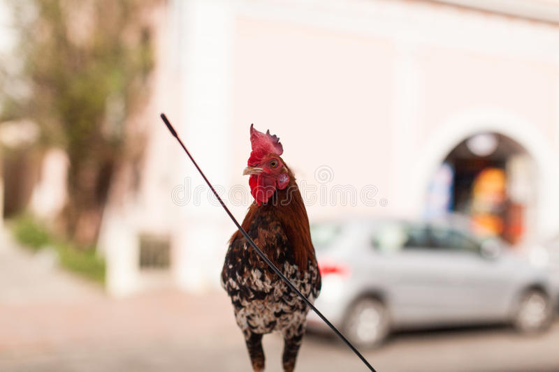 A rooster on the roof of a car royalty free stock photos