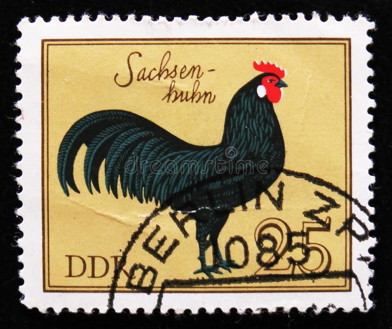 Rooster Saxony from the series `Domestic birds`, circa 1979. MOSCOW, RUSSIA - APRIL 2, 2017: A post stamp printed in DDR shows rooster Saxony from the series ` stock photo