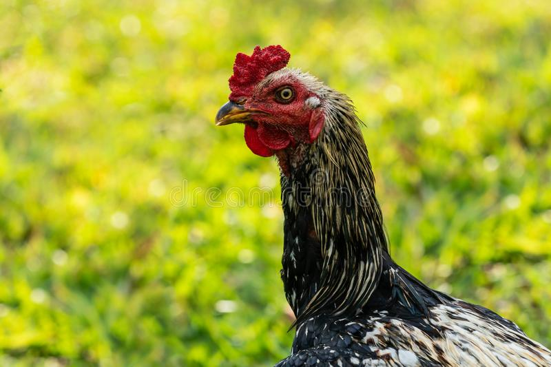 Rooster seeking food in the garden.  royalty free stock photos
