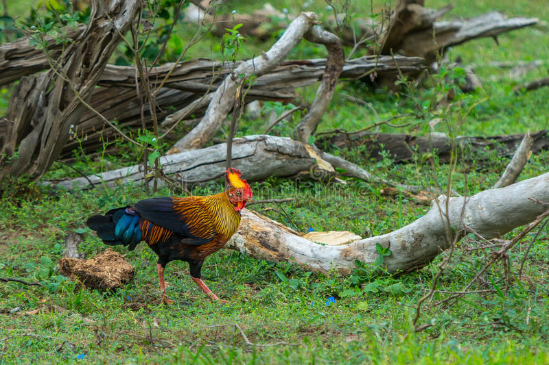 Rooster of Sri Lankan junglefowl or Gallus lafayetii in wild nat. Ure stock images