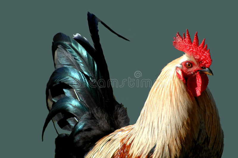 Download Rooster With A Tail stock image. Image of chickens, rural - 407077