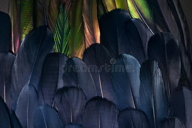 Rooster wing, paradise bird plumage. Close up photo of two types of feathers. Bird wings plumage. Beautiful composition for background royalty free stock photos