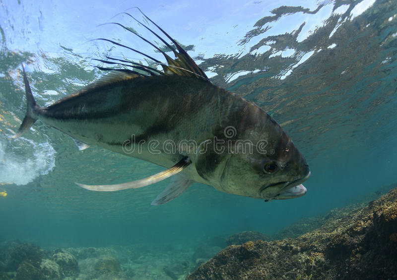 Roosterfish caught on hook and fishing line underwater for B liner fish