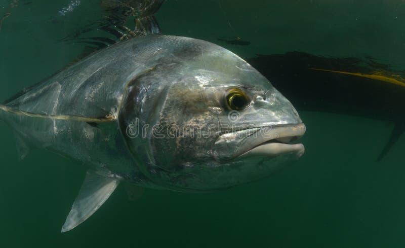 Roosterfish i havet med kajaken i bakgrund royaltyfria foton