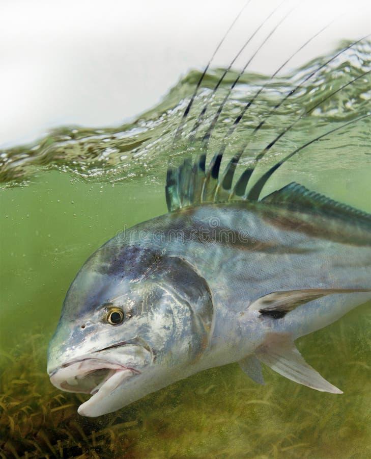 Roosterfish recherchant le bas-fond la nourriture images libres de droits