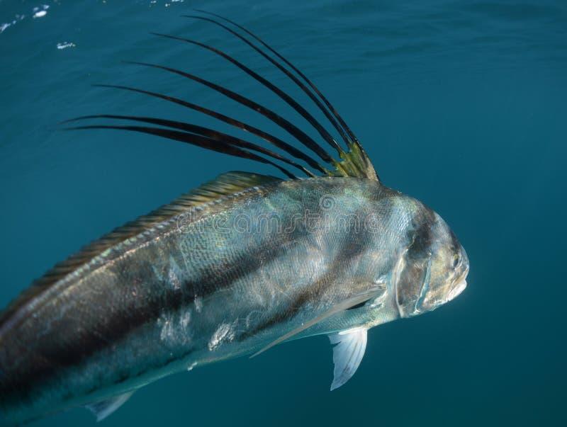 Roosterfish som simmar bort undervattens- royaltyfri fotografi