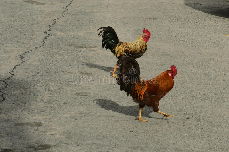 Roosters. Begging for food in parking lot royalty free stock photography