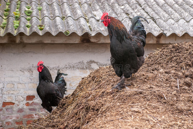 Roosters on a bunch of hay. Keeping eye on chickens royalty free stock images