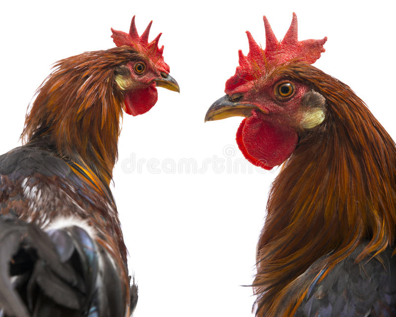 Roosters. Close up isolated on a white background stock photos