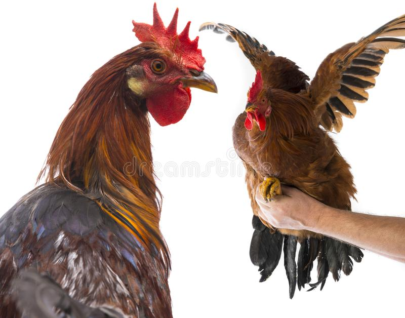 Roosters. A roosters close up isolated on a white background royalty free stock photo