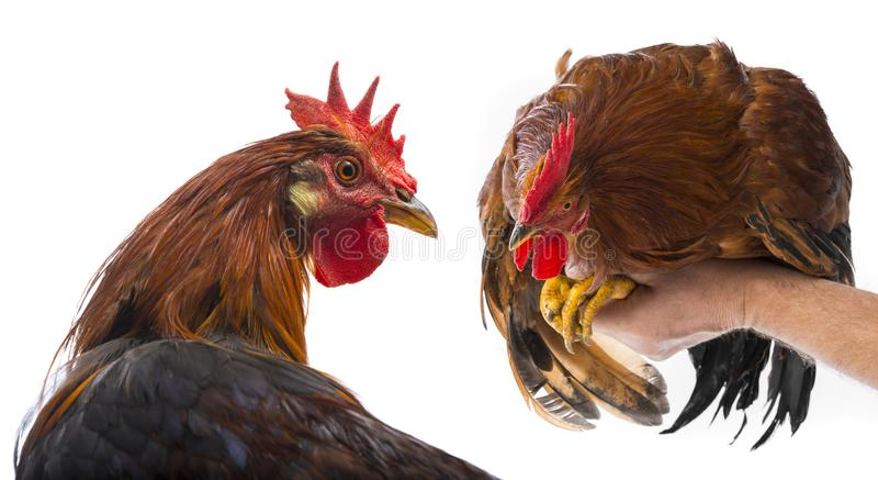 Roosters. A roosters close up isolated on a white background royalty free stock image