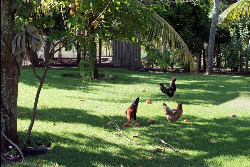 Roosters in backyard. Roosters eating fresh mangoes from trees in green backyard or garden on sunny day royalty free stock images