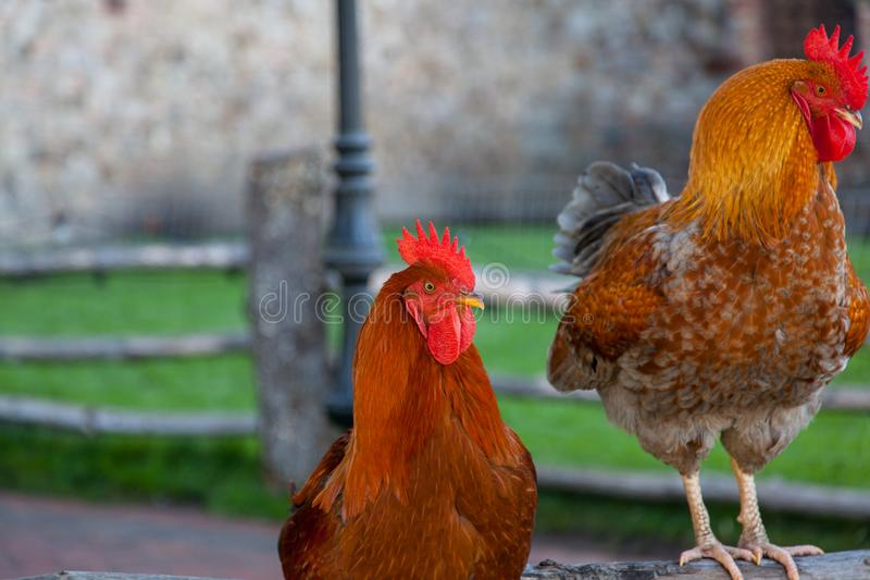 Roosters on a Fence. Two roosters on a old wooden fence resting in a castle yard royalty free stock photos