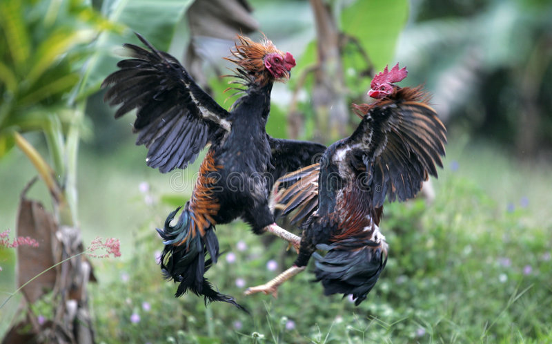 Roosters fight stock photo