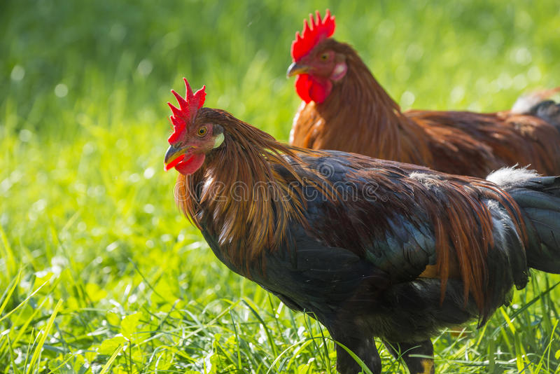 Roosters. In the garden on a farm - free breeding stock image