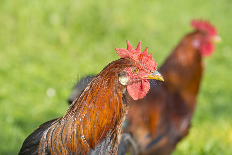 Roosters. In the garden on a farm - free breeding royalty free stock photography
