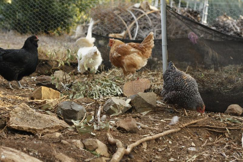 Roosters and hens in a chicken run. Hand raised on a farm in rural Australia royalty free stock images