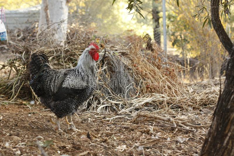 Roosters and hens in a chicken run. Hand raised on a farm in rural Australia stock photo