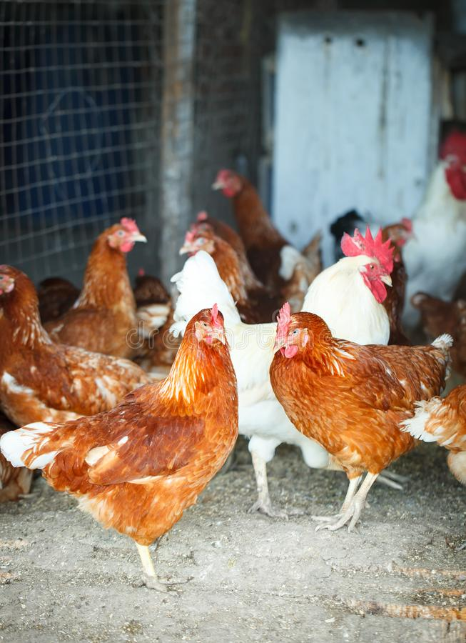 Roosters and hens on a traditional poultry farm. Agriculture. Roosters and hens on a traditional poultry farm. Agriculture stock photos