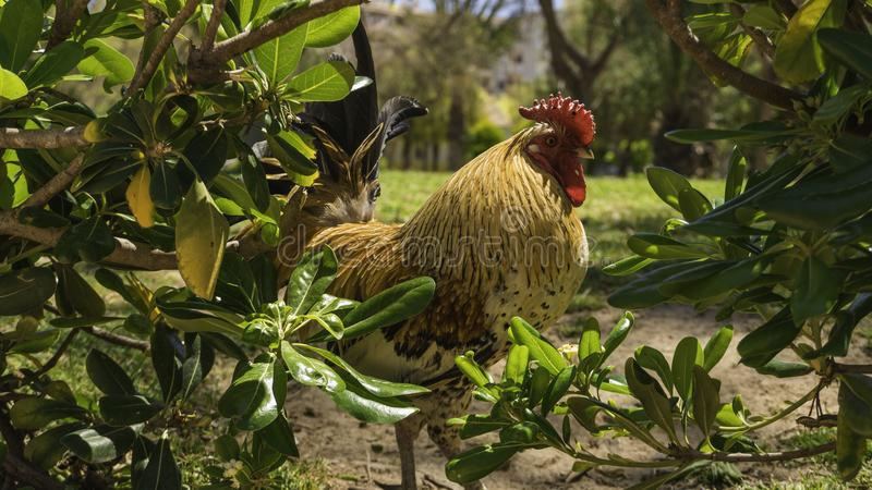 Roosters in spring 3. Spring affects all animals and especially roosters, the activity multiplies due to the increase in temperatures and hours of light. The royalty free stock photography