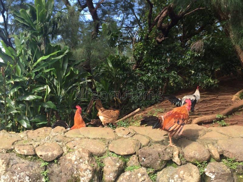 Roosterside hawaïen images libres de droits