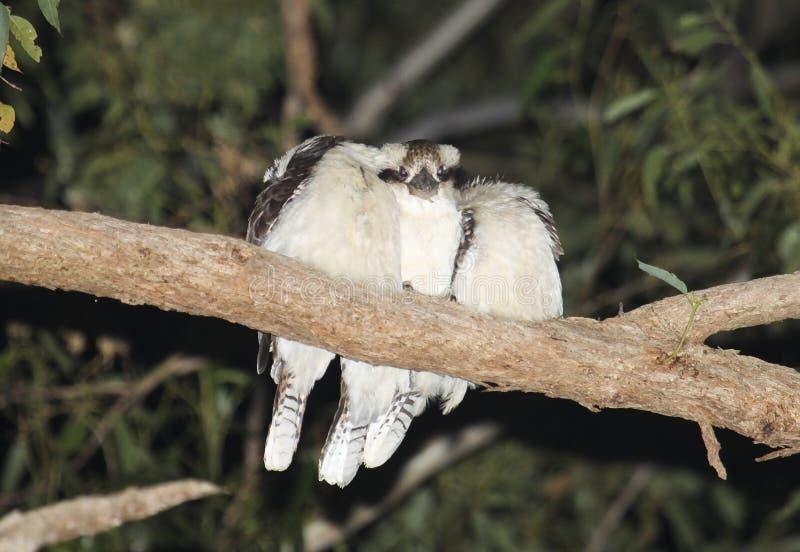 Roosting смеясь kookaburras прижмитесь вверх стоковая фотография