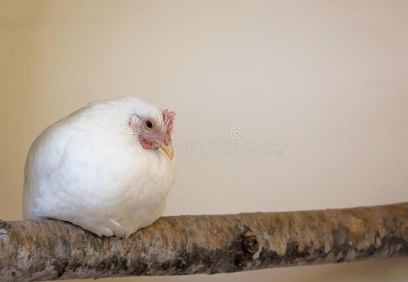 Roosting chicken royalty free stock image