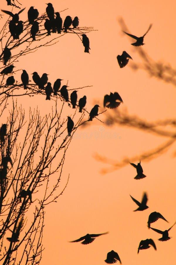 Roostingsstarlings verzamelen zich op een boom tegen een oranje hemel stock fotografie