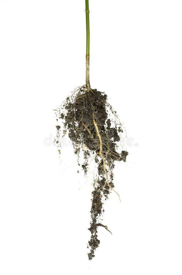 Download The root stock photo. Image of bush, backgrounds, dirty - 25887268