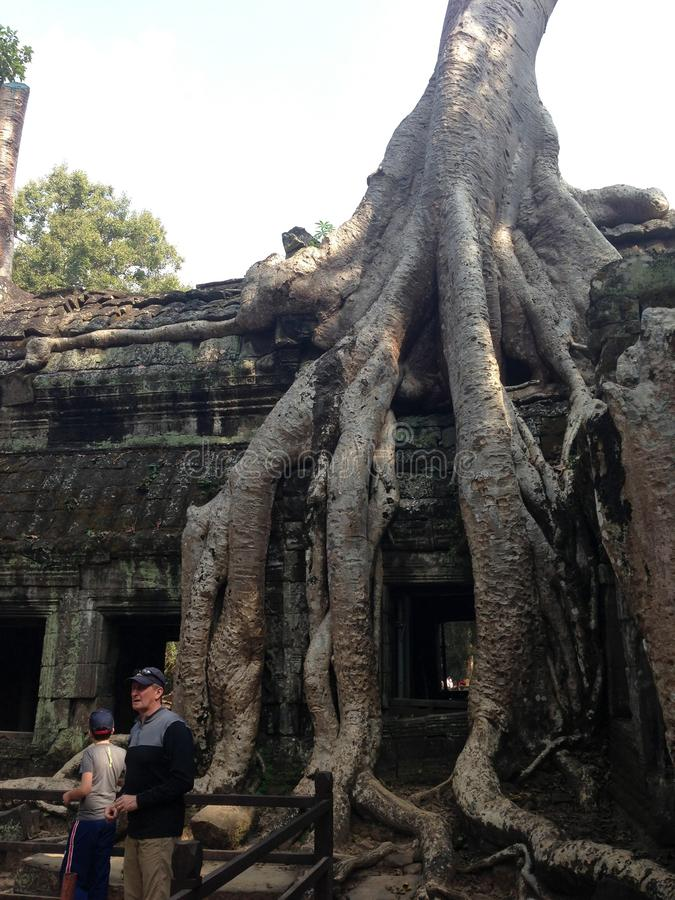 Root of ancient banyan tree in Angkor Wat, Cambodia stock images