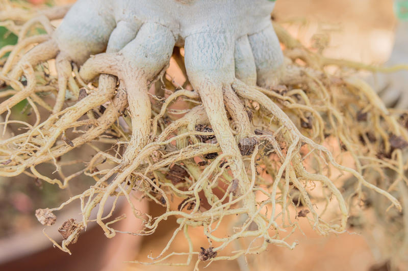 Download Root Of Azalea On The Row In Themarket For Sale. Stock Photo - Image: 83718847
