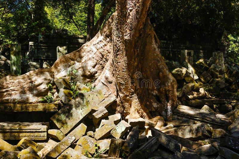 Root of a Banyan Tree royalty free stock photos