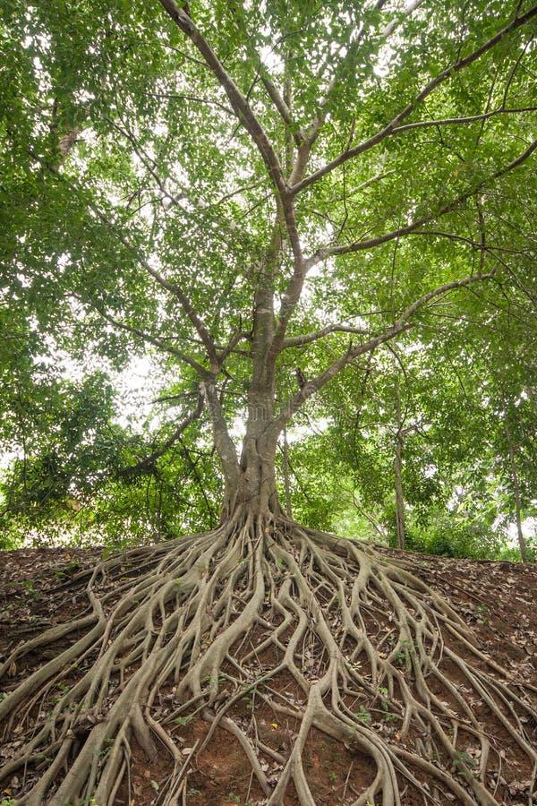 Root of banyan tree. stock photography