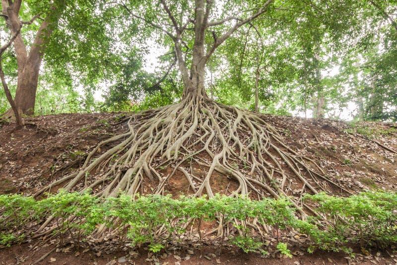 Root of banyan tree. stock photo