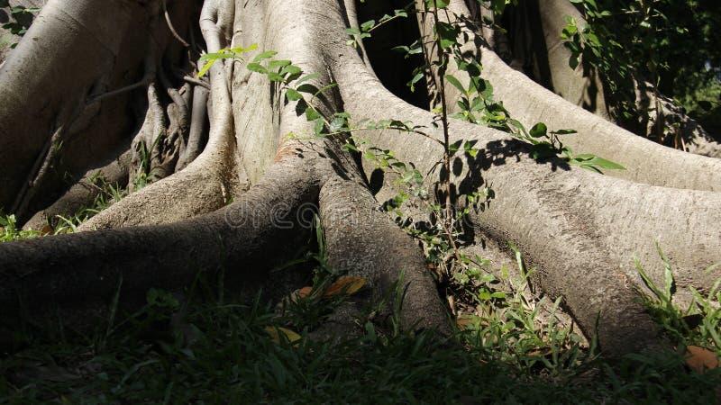 Root And Bark Of Banyan Tree royalty free stock photo