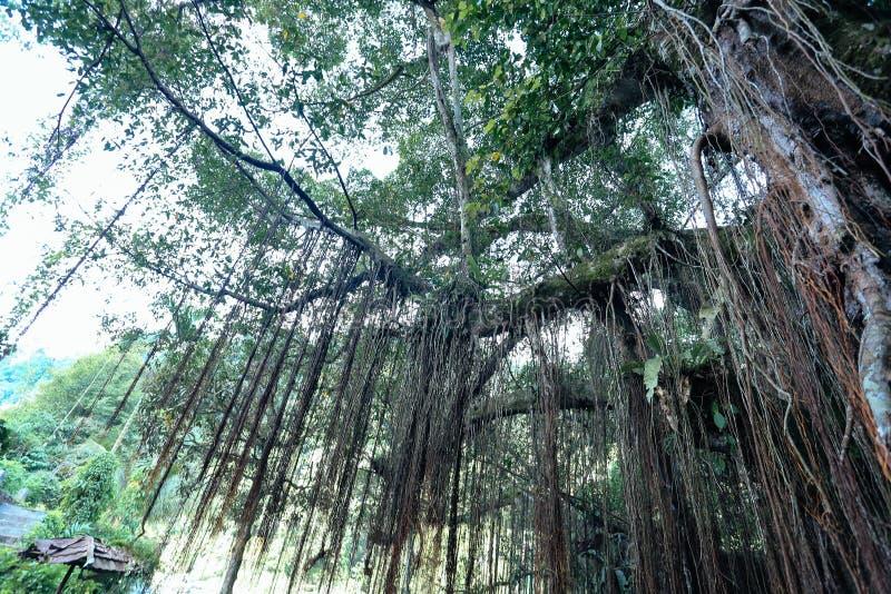Root bridge village indonesia royalty free stock photography