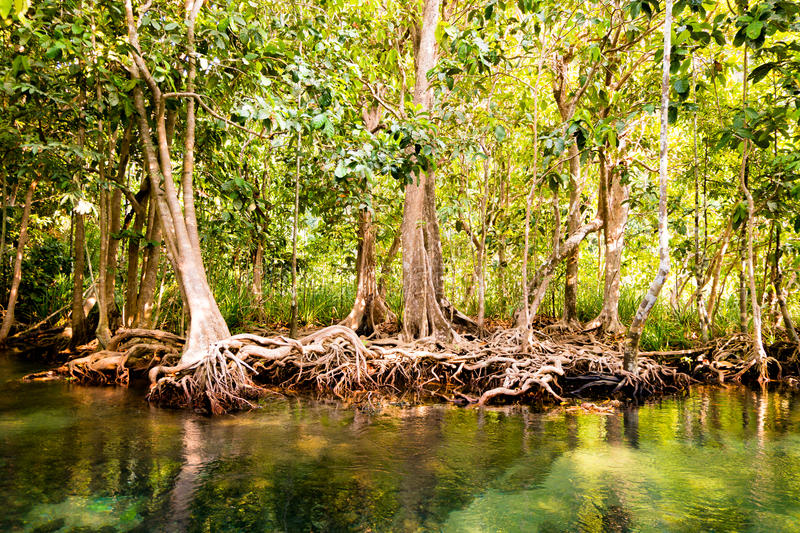 The root and crystal stream. freshwater meets with seawater from the mangrove forest, Krabi, Thailand royalty free stock images