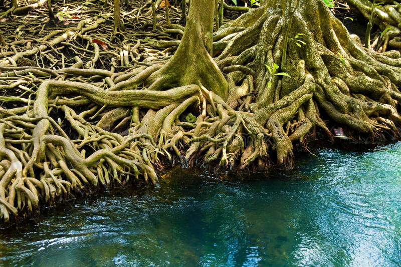 The root and crystal stream, Krabi, Thailand royalty free stock image