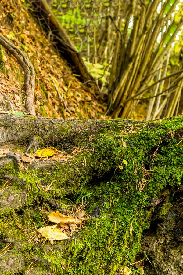 Root of a large tree covered with moss base of a forest magical close-up against a background of moss trees royalty free stock image