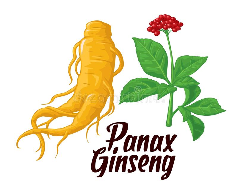 Root and leaves panax ginseng. Vector colorful flat illustration of medicinal plants. Biological additives are. Healthy lifestyle stock illustration