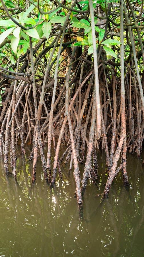 Root of mangrove stock photo