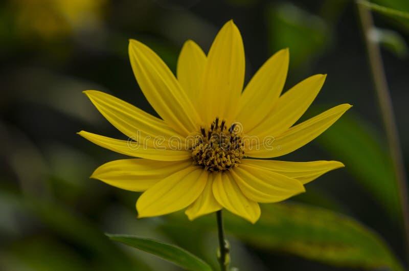 Plant called Jerusalem artichokes stock photography