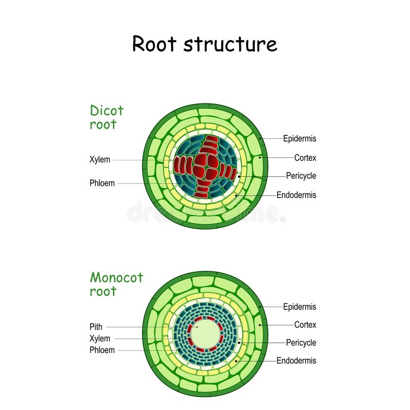 Root Structure Monocot And Dicot Stems Stock Vector Manual Guide
