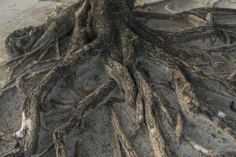 Root tree in forest/complexity. Roots of a tree coming out of the sand of the beach stock images