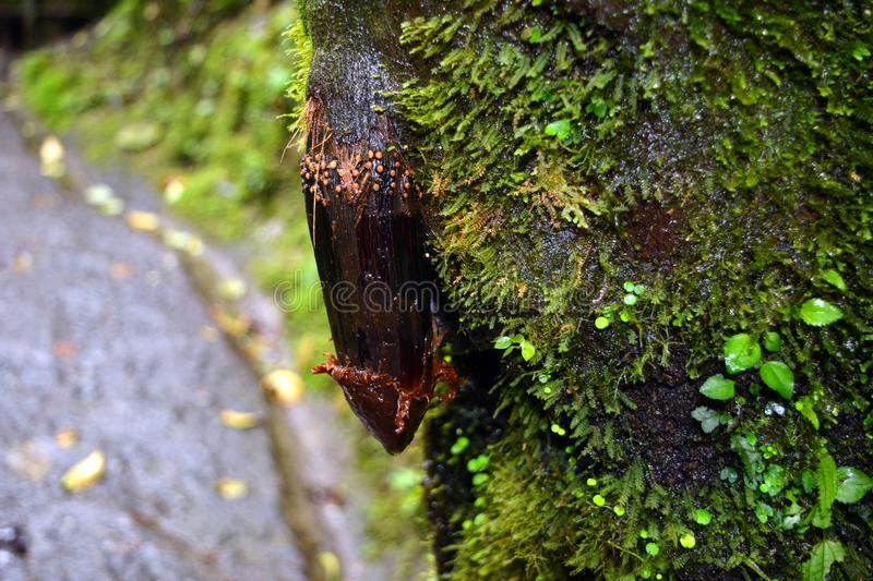The root of a tree grown from a tree trunk, similar to the male sexual organ in Costa Rica.  stock photo
