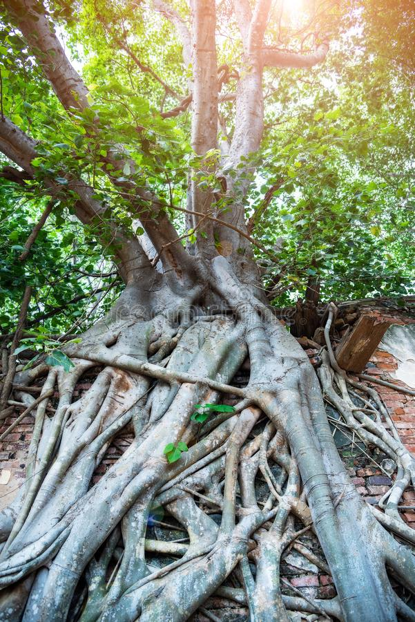 Root of tree growth on old ancient brick wall.Old grunge ruined building  growing covered with aerial roots of a banyan tree in royalty free stock photo