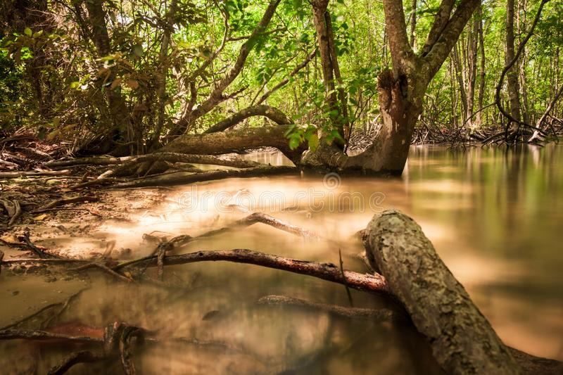 Root of tree in mangrove there is Ecological diversity. forest and environment concept stock photo