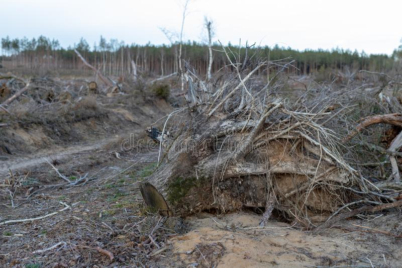 The root of a tree uprooted by a strong wind. A place of logging in Central Europe royalty free stock photos